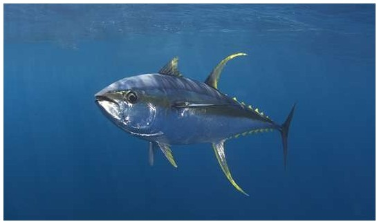 Tuna fishing for What does a tuna fish look like